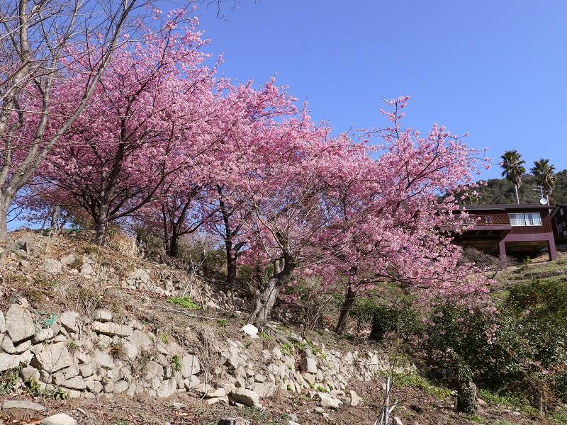 蒲刈「県民の浜」河津桜