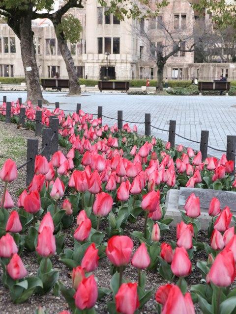 広島平和公園のチューリップ