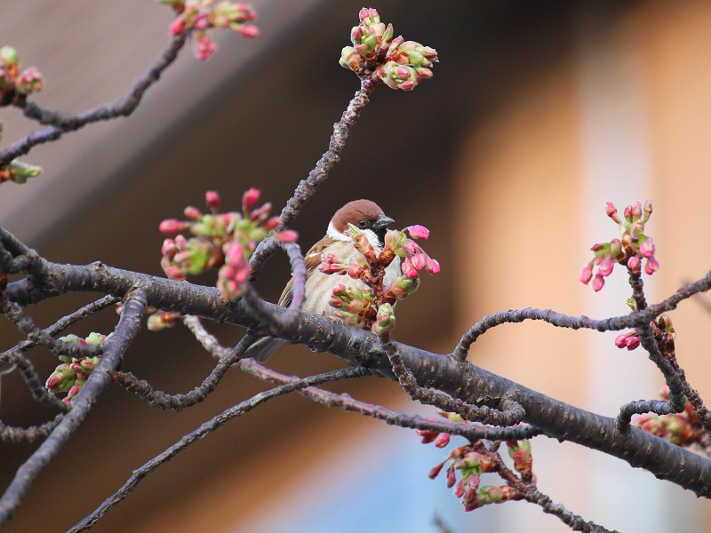 尾道の河津桜とスズメ(尾道商工会議所そば)