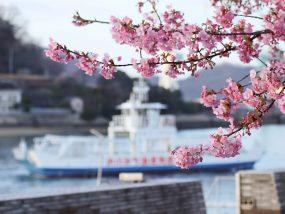 尾道水道を行く渡船と河津桜(尾道商工会議所そば)