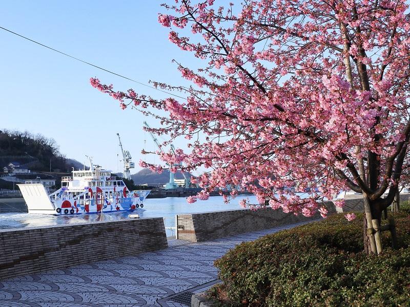 尾道水道を行くフェリーと河津桜(尾道商工会議所そば)
