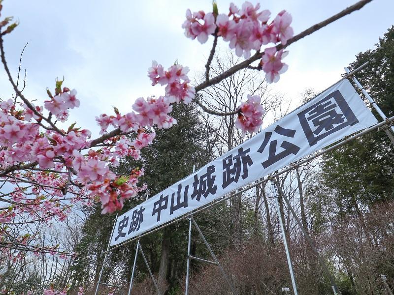 中山城跡公園の河津桜(廿日市市)