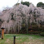 """『あじな桜』阿品川堰堤ほとりに植えられた""""しだれ桜"""""""
