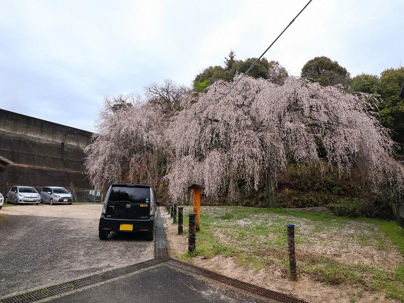 広島県廿日市市阿品『あじな桜』