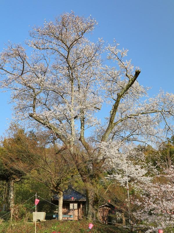 湯戸モチヅキ桜