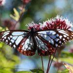アサギマダラ飛来!広島市植物公園のバタフライガーデン!