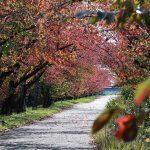 【住吉堤防敷】桜の紅葉で赤いトンネル(廿日市市)