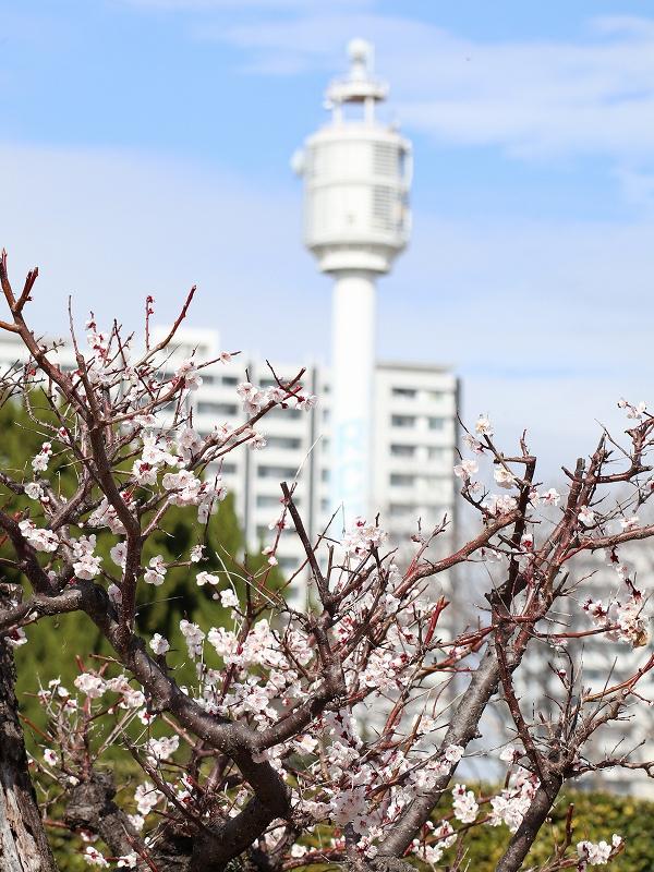 広島城「二の丸」梅の花とRCC