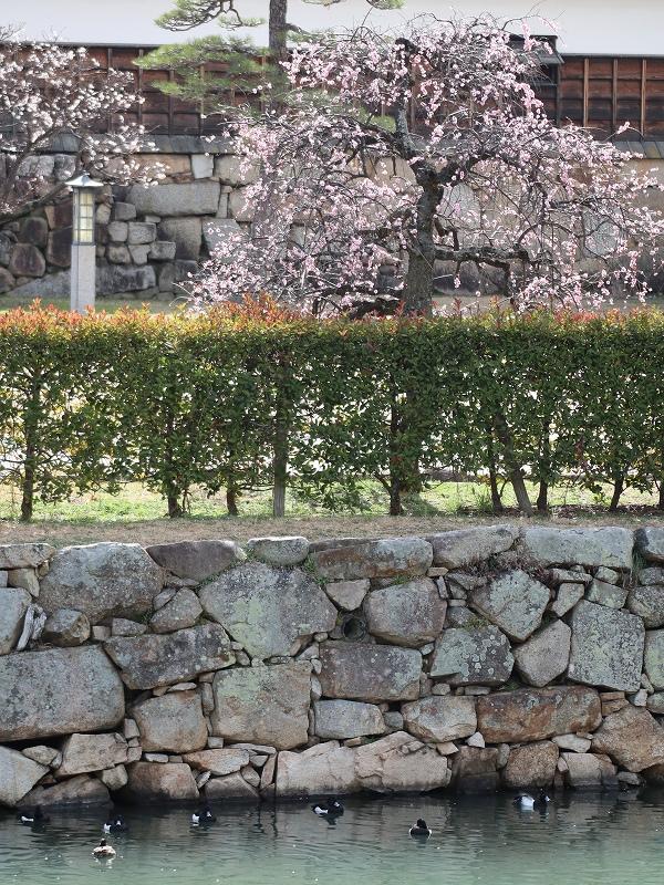 広島城「二の丸」梅の花とお堀の水鳥