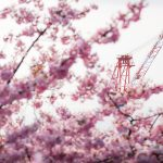 児童が植えた河津桜が綺麗に咲いた(広島県呉市安浦町)