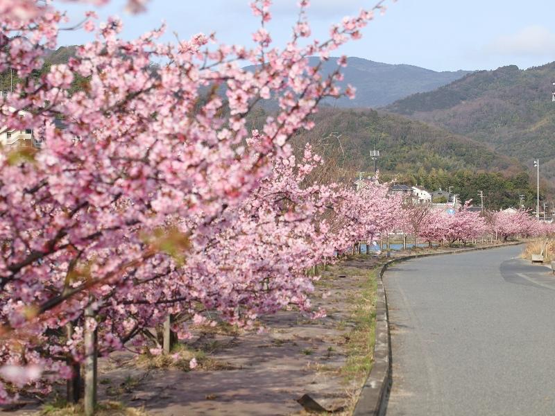 河津桜(広島県呉市安浦町)