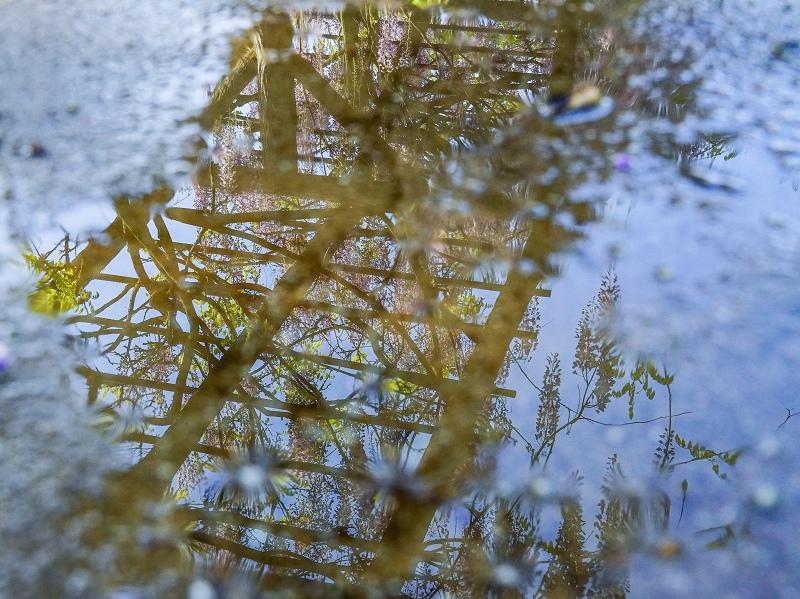 水たまりに写った藤の花