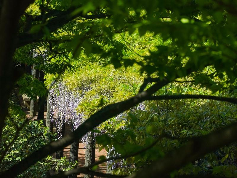 広島市植物公園の藤棚