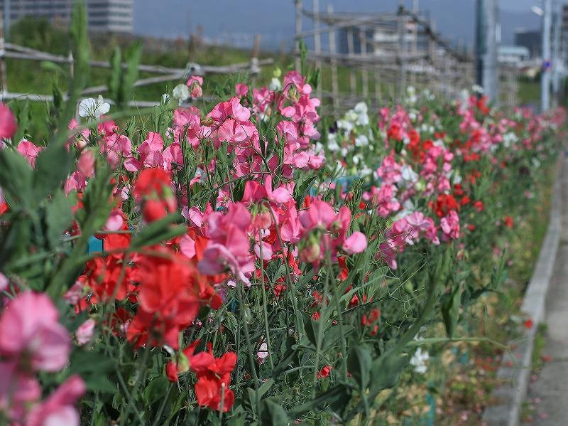 広島工業大学高等学校、アダプト活動により植えられたスイートピー
