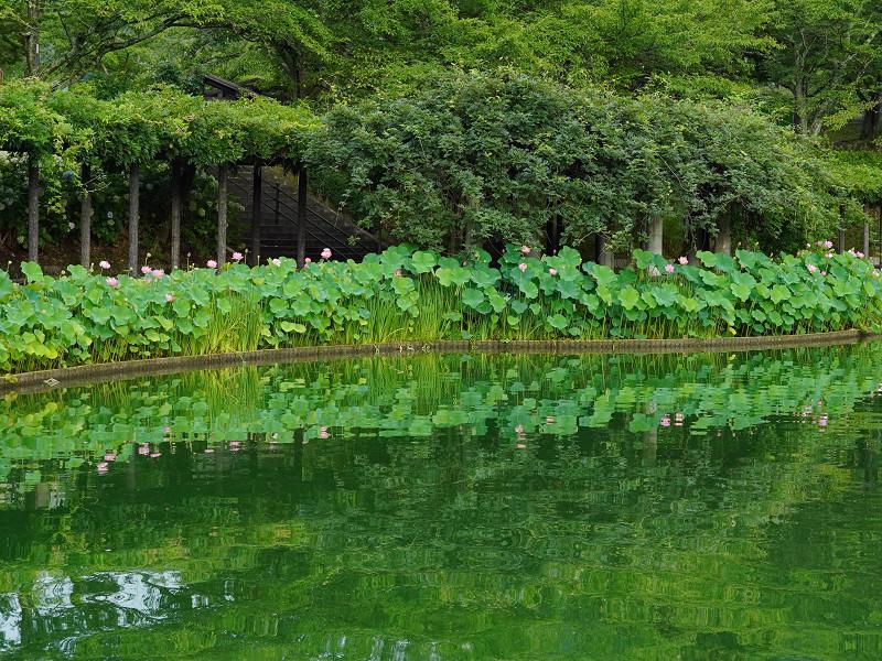 府中公園水面に映る大賀蓮