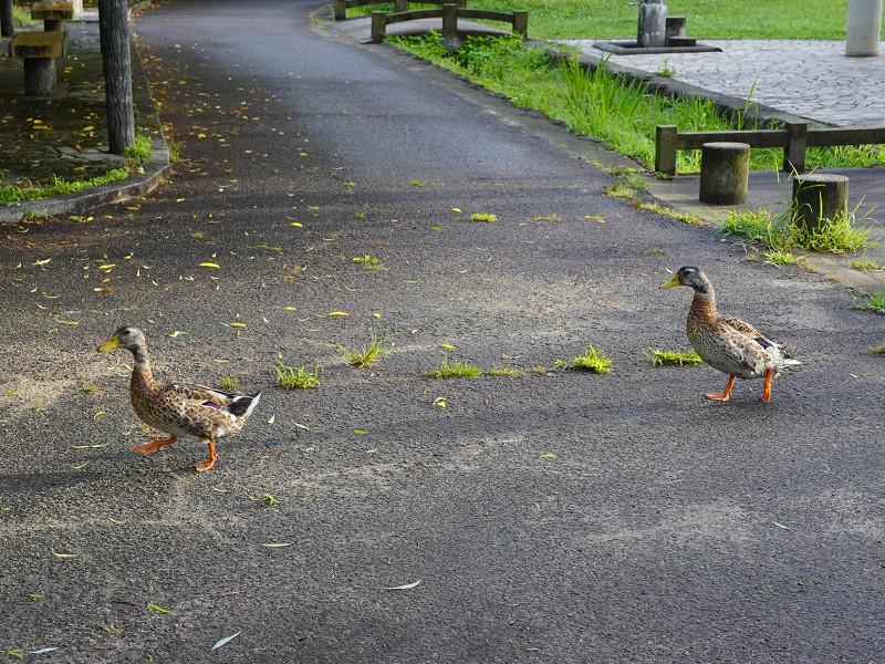 府中公園で歩く鴨