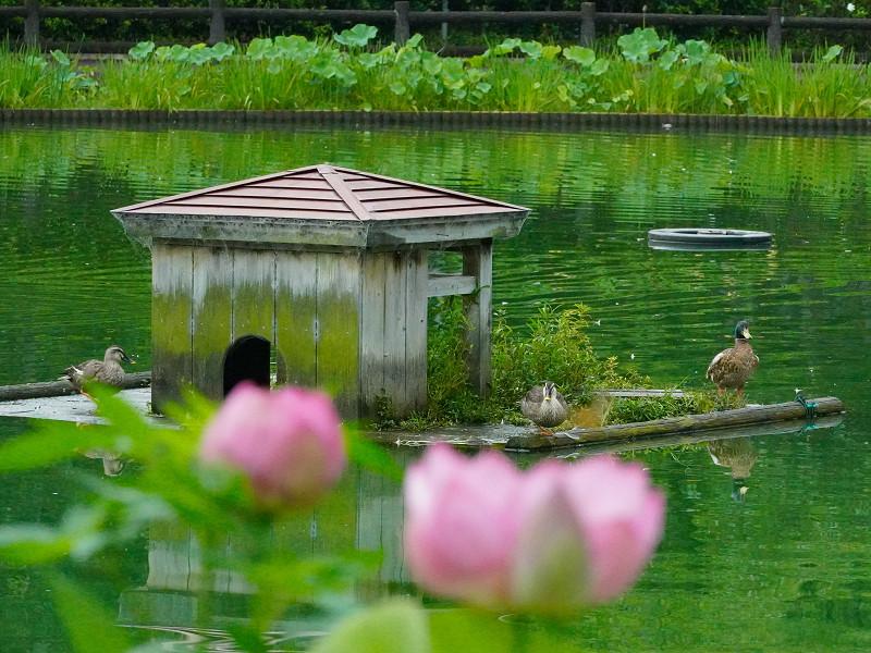 府中公園、カモの小屋と蓮