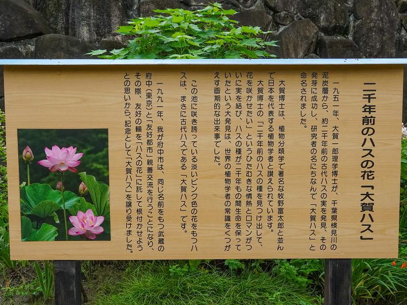 府中公園、大賀蓮の案内板