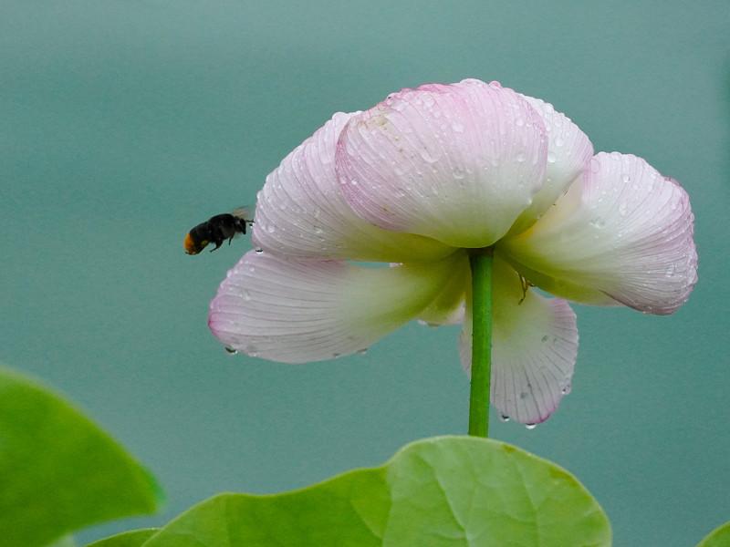 府中公園に咲く大賀蓮とクマバチ