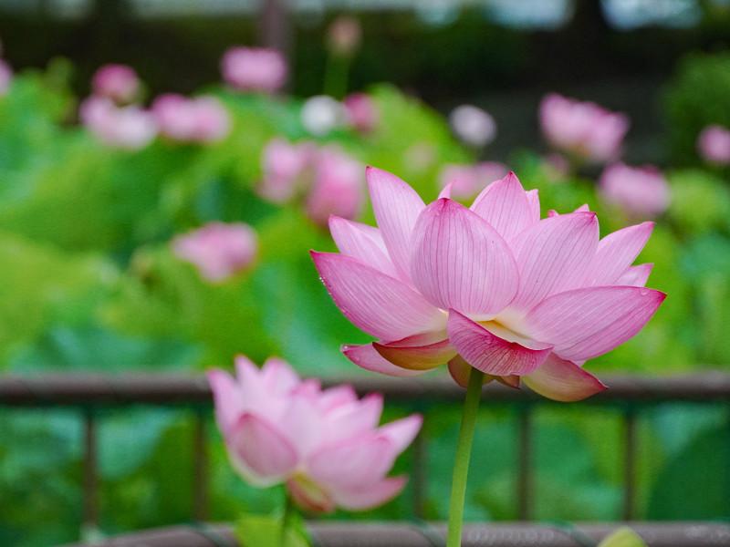 府中公園に咲く大賀蓮